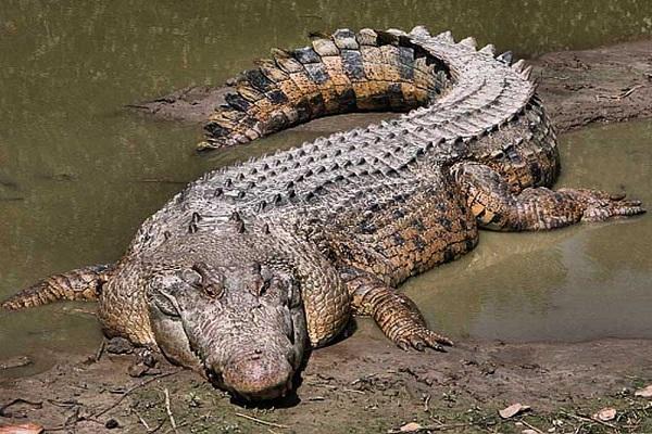 Mơ thấy cá sấu mang lại điềm báo gì