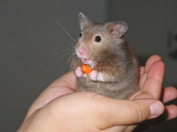 Mơ thấy chuột mang lại điềm báo gì