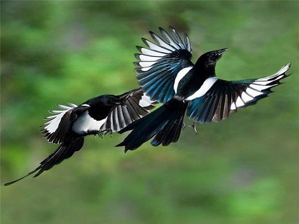 Chim bay vào nhà là điềm tốt hay xấu