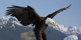 Đại bàng đầu trắng biểu tượng của nước Mĩ