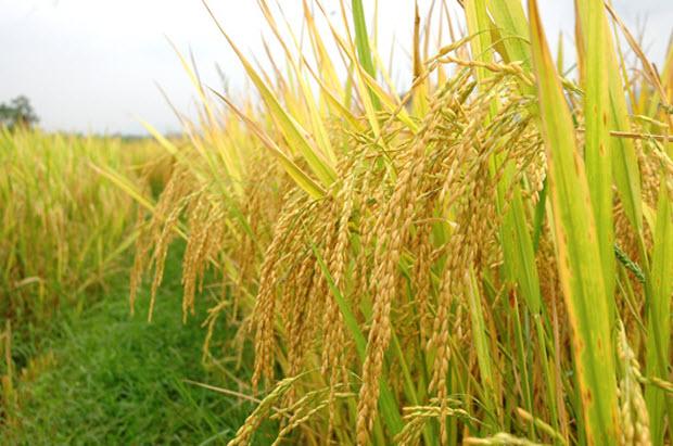 nằm mơ thấy lúa gạo
