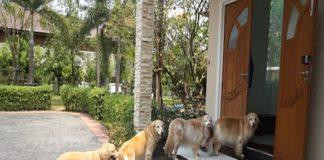 chó chạy vào nhà
