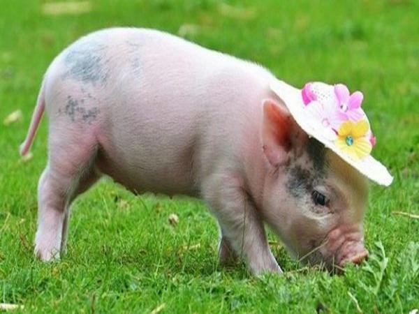 nằm mơ thấy lợn