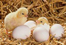Điềm báo nằm mơ thấy trứng gà