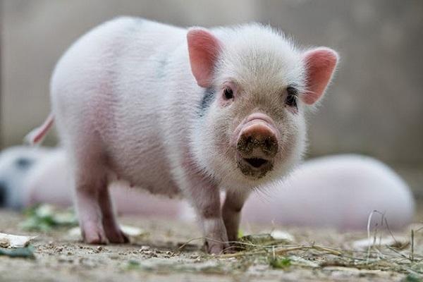 Tại sao bạn lại mơ thấy lợn