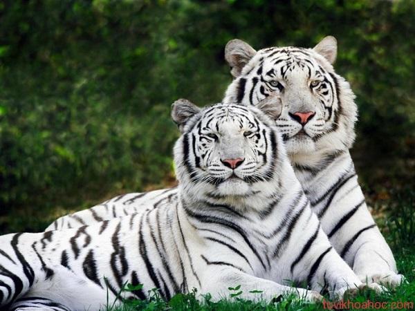 Tại sao lại nằm mơ thấy hổ