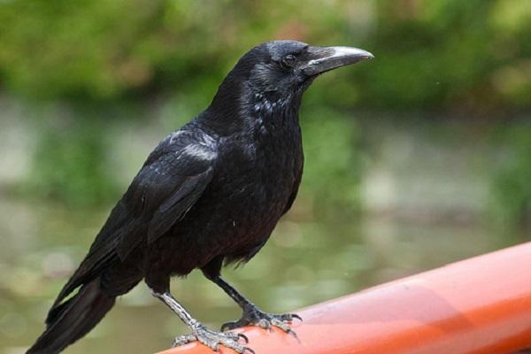 Tại sao tiếng quạ kêu là điềm gở?