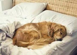 Chó leo lên giường mang đến điềm báo gì?