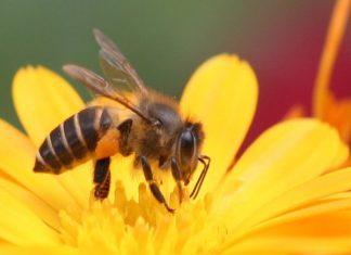 Ong bay vào nhà là hên hay xui?