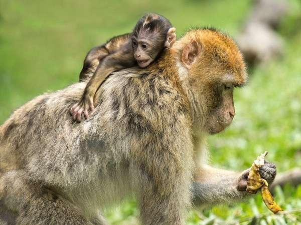 Mơ thấy khỉ điềm báo lành hay dữ?